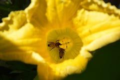 Las abejas de la miel que polinizan la calabaza florecen adentro ktchen el jardín en verano tardío Foto de archivo
