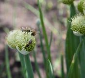 Las abejas de la miel recogen el néctar en las cebollas florecientes Imagen de archivo libre de regalías