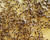 Las abejas de los animales Imagen de archivo libre de regalías
