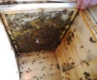 Las abejas de los animales Fotos de archivo libres de regalías