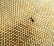Las abejas de los animales Foto de archivo