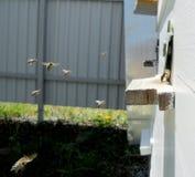 Las abejas de los animales Imagenes de archivo