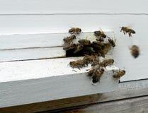 Las abejas de los animales Imágenes de archivo libres de regalías