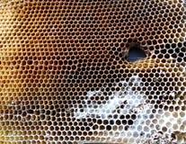 Las abejas de los animales Fotografía de archivo libre de regalías