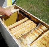 Las abejas de los animales Fotografía de archivo