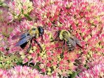 Las abejas de Thornhill en Sedum florecen 2017 Imagen de archivo