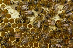 Las abejas del panal vierten el néctar se convierten en la miel Imagen de archivo
