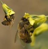 Las abejas del resorte recogen el polen de las flores amarillas Imágenes de archivo libres de regalías
