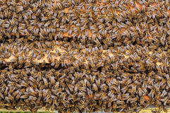 Las abejas dentro de la colmena se colocan en los peines Fondo natural Foto de archivo