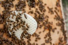 Las abejas durante la construcción de un panal Fotos de archivo