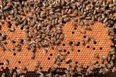 Las abejas empollan, trabajando las larvas de la abeja calentadas en el panal Fotografía de archivo