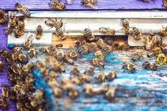 Las abejas en el cierre delantero de la entrada de la colmena para arriba Abeja que vuela para encorchar El abejón de la abeja de Fotografía de archivo