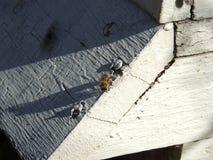 Las abejas en el cierre delantero de la entrada de la colmena para arriba Abeja que vuela para encorchar El abejón de la abeja de Imagenes de archivo