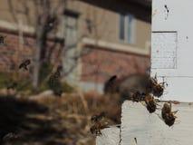 Las abejas en el cierre delantero de la entrada de la colmena para arriba Abeja que vuela para encorchar El abejón de la abeja de Imagen de archivo libre de regalías