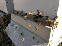 Las abejas en el cierre delantero de la entrada de la colmena para arriba Abeja que vuela para encorchar El abejón de la abeja de Fotos de archivo libres de regalías