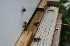 Las abejas en el cierre delantero de la macro de la entrada de la colmena para arriba Abeja que vuela para encorchar Abeja de la  Imagen de archivo