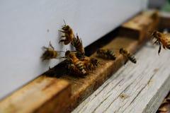 Las abejas en el cierre delantero de la macro de la entrada de la colmena para arriba Abeja que vuela para encorchar Abeja de la  Imagen de archivo libre de regalías