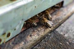 Las abejas en el cierre delantero de la macro de la entrada de la colmena para arriba Abeja que vuela para encorchar Abeja de la  fotografía de archivo libre de regalías