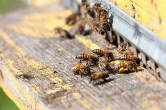 Las abejas en el primer delantero de la entrada de la colmena Imagen de archivo