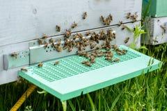 Las abejas en el primer delantero de la entrada de la colmena Apicultura Imágenes de archivo libres de regalías