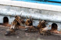 Las abejas en el primer delantero de la entrada de la colmena Fotografía de archivo libre de regalías