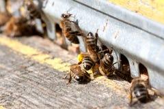 Las abejas en el primer delantero de la entrada de la colmena Imágenes de archivo libres de regalías