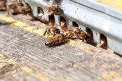 Las abejas en el primer delantero de la entrada de la colmena Fotos de archivo