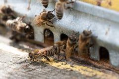 Las abejas en el primer delantero de la entrada de la colmena Fotografía de archivo