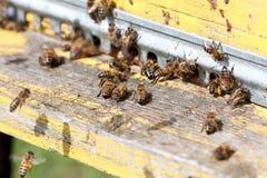 Las abejas en el primer delantero de la entrada de la colmena Imagen de archivo libre de regalías