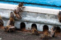 Las abejas en el primer delantero de la entrada de la colmena Foto de archivo
