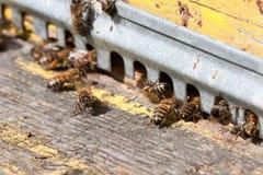 Las abejas en el primer delantero de la entrada de la colmena Imagenes de archivo
