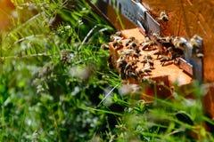 Las abejas en el primer delantero de la entrada de la colmena Apicultura Fotografía de archivo