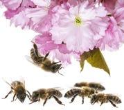 las abejas en las flores se cierran para arriba Fotos de archivo libres de regalías
