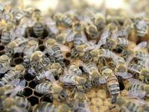 Las abejas en la cámara de la cría en el peine exhausto con el panal y s Fotografía de archivo libre de regalías