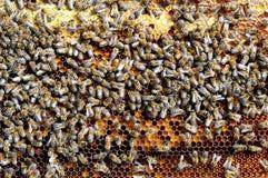 Las abejas en la célula del panal embalan en el pan de la abeja Apitherapy Fotos de archivo