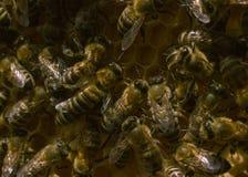 Las abejas en la colmena Fotografía de archivo