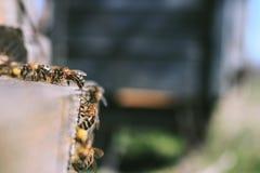 Las abejas en la entrada delantera de la colmena en primer de la primavera Apariencia vintage retra Imágenes de archivo libres de regalías