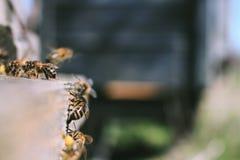 Las abejas en la entrada delantera de la colmena en primer de la primavera Apariencia vintage retra Fotografía de archivo