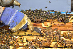 Las abejas en los peines de una división suben a una colmena Foto de archivo