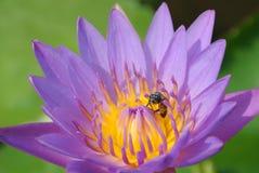 Flor de Lotus Imagen de archivo libre de regalías