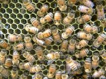 Las abejas entregan el néctar imagen de archivo