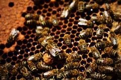 Las abejas están en el trabajo Imagen de archivo libre de regalías