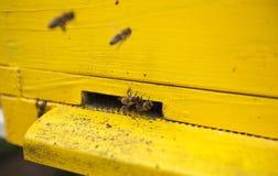 Las abejas están en la entrada a la colmena Foto de archivo
