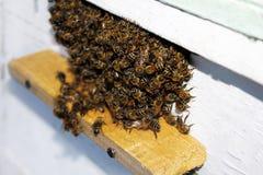 Las abejas están en la entrada a la colmena Primer Foto de archivo libre de regalías