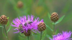 Las abejas están en una flor marrón de la centaurea almacen de metraje de vídeo