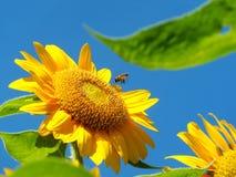 Las abejas están pululando el girasol Fotografía de archivo