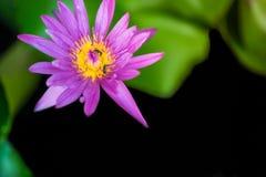 Las abejas están pululando la flor de loto rosada hermosa y el polen amarillo del lirio con el fondo de la falta de definición Imagen de archivo libre de regalías