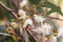 Las abejas están recogiendo el néctar del eucalipto (la miel) Imagen de archivo