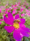 Las abejas están recolectando la miel Imágenes de archivo libres de regalías