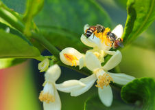 Las abejas están recolectando los carpelos en la flor de la cal Fotografía de archivo libre de regalías